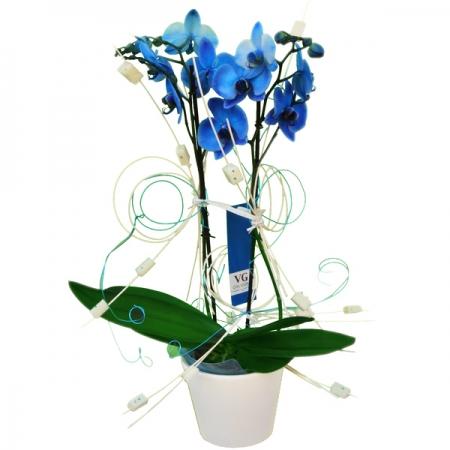 planta de orquidea azul