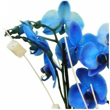 Planta de orquídeas azules