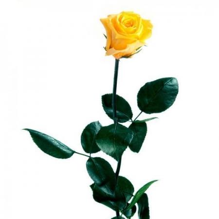 rosa amarilla preservada