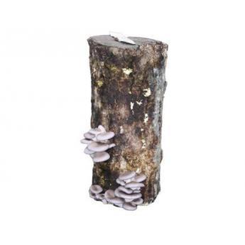 tronco productor de seta de ostra
