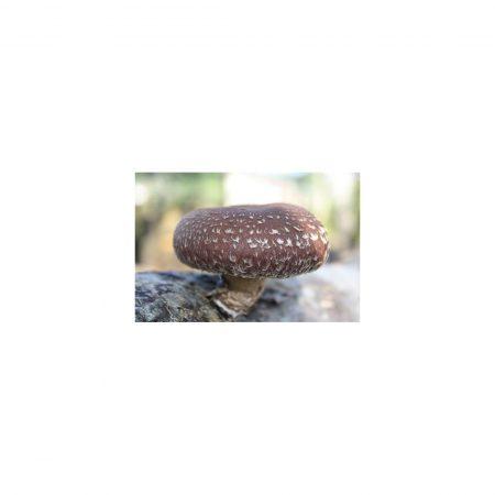 tronco productor de shiitake seta