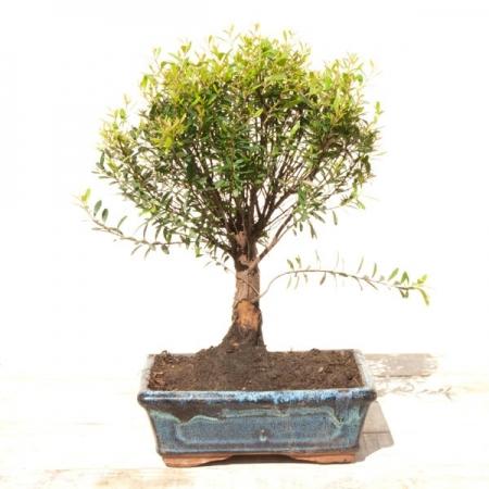 Tienda de bonsáis
