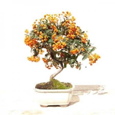 Bonsái Pyracantha con fruto