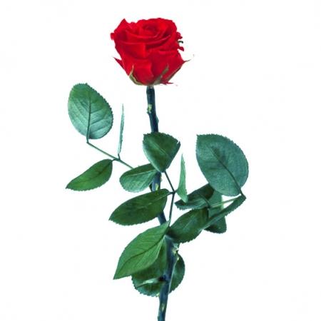 rosa preservada roja2 1