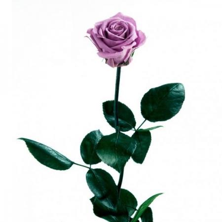 rosa lila preservada