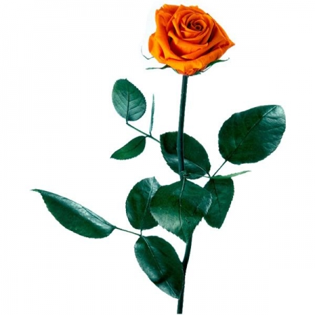 rosa naranja preservada