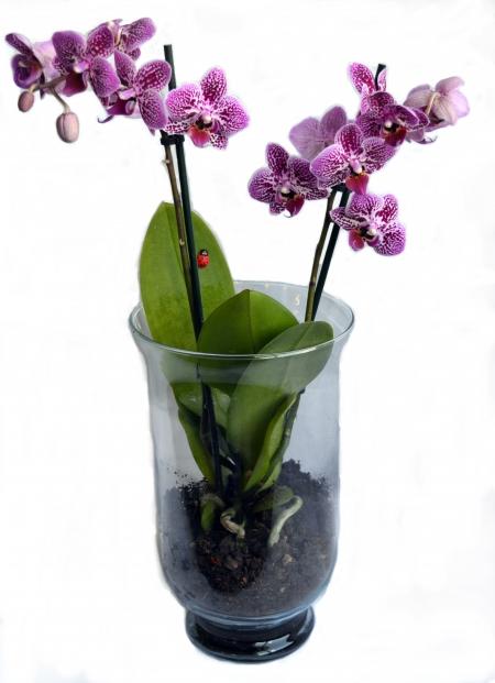 orquideajarronlila