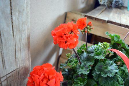 flor geraneo