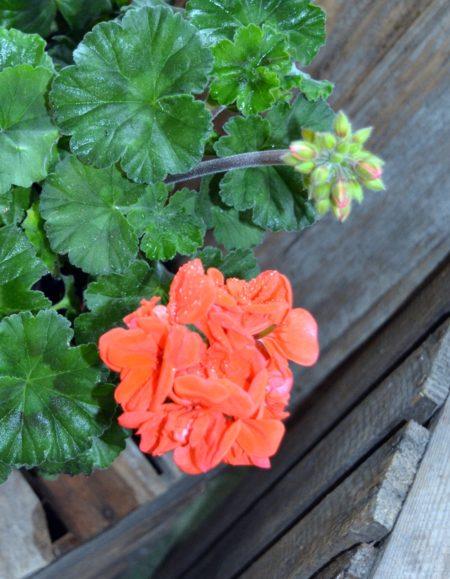 geraneo rojo flor