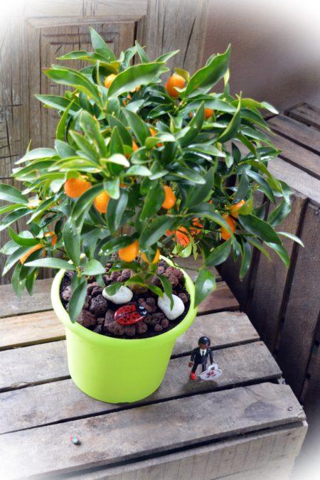 kumquat maceta balcon
