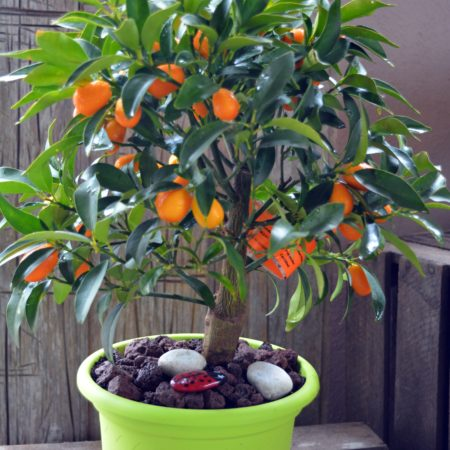 kumquat maceta deco