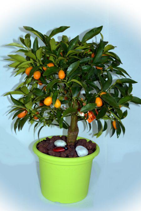 kumquat naranjo enano