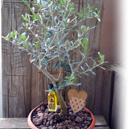 olivo maceta balcon