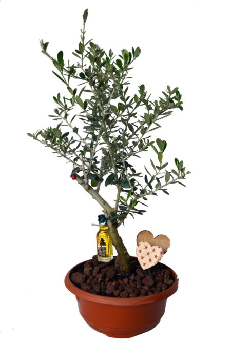 olivo maceta balcon tarrina