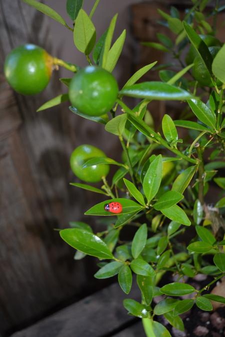 limequat fruto