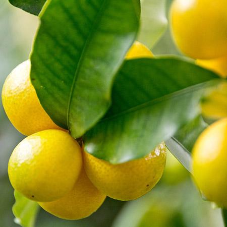 limequat fruto maduro