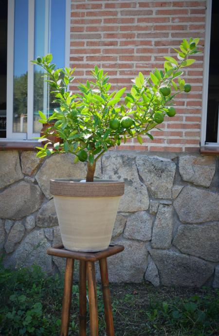 limequat maceta