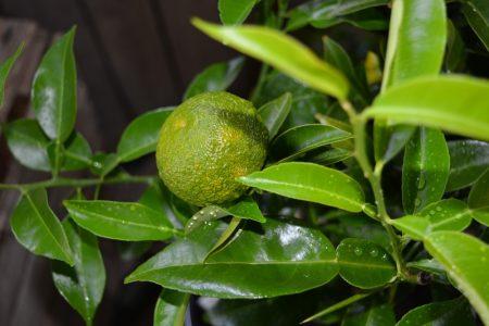 yuzu fruto