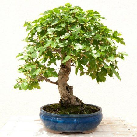 bonsái-morus