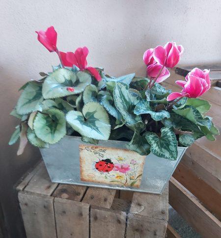jardineria-ciclamen