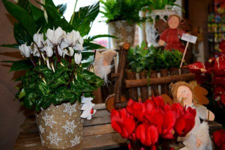 cyclamen decorado navidad