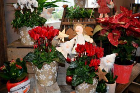 cyclamen decorar navidad 1