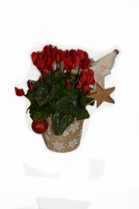 cyclamen navidad rojo