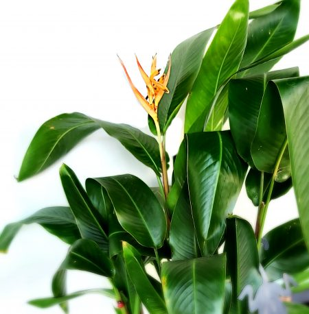 heliconia flor