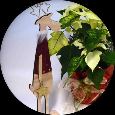 reno rojo flor pascua
