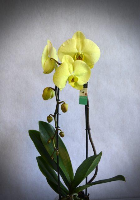 orquidea color amarillo