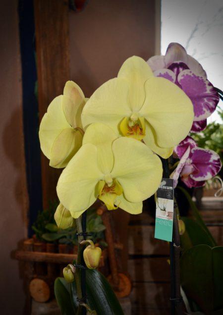 orquidea color amarillo flor