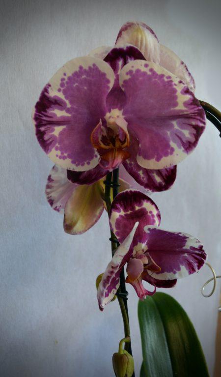 orquidea color deco morada