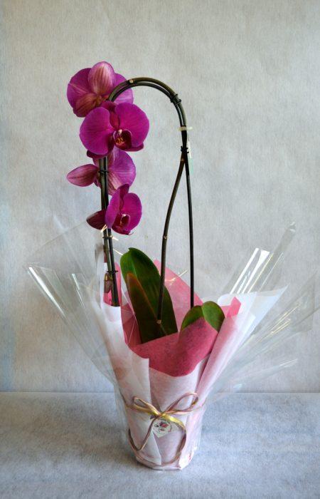 orquidea color fucsia