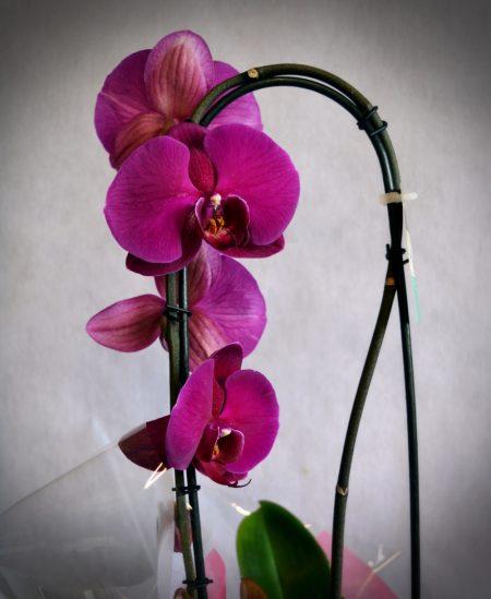 orquidea flor fucsia