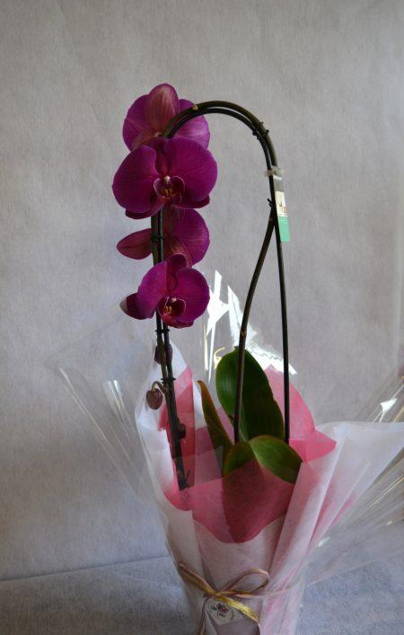 orquidea fucsia