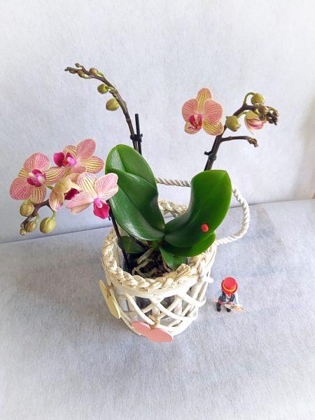 orquidea bicolor