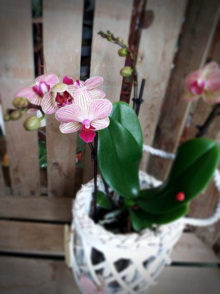 orquidea flor detalle