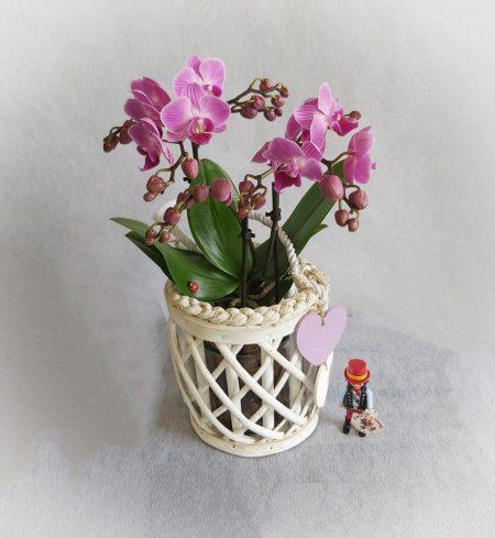 orquidea magenta