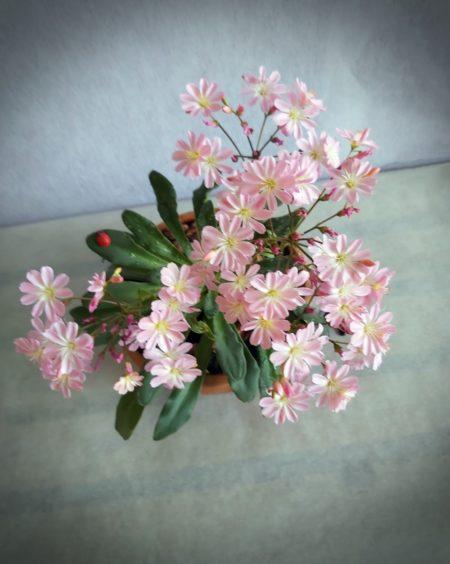 Levisia flor