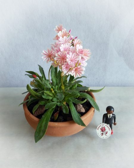 Suculentas flor lewisia