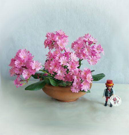 flor suculenta lewisia