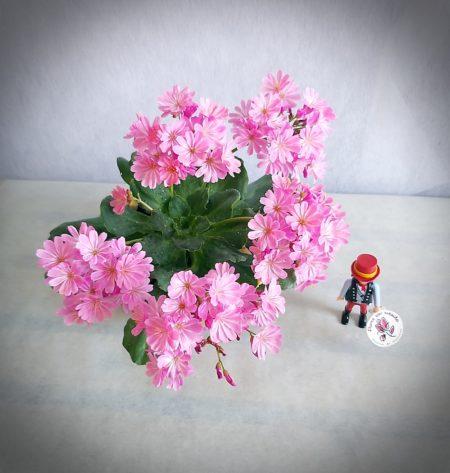 lewisia flor en casa
