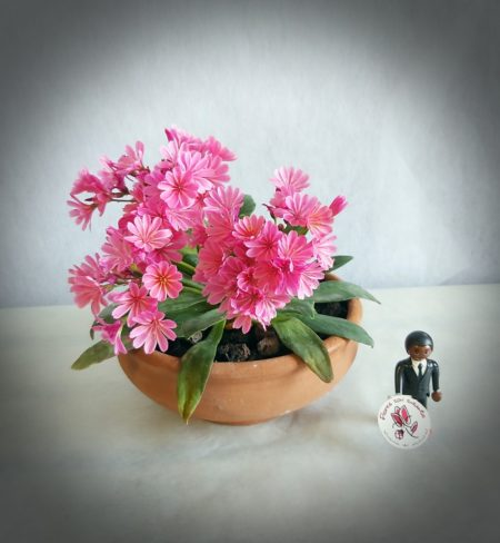 lewisia flores color